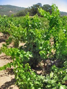 Bucklin Old Vines
